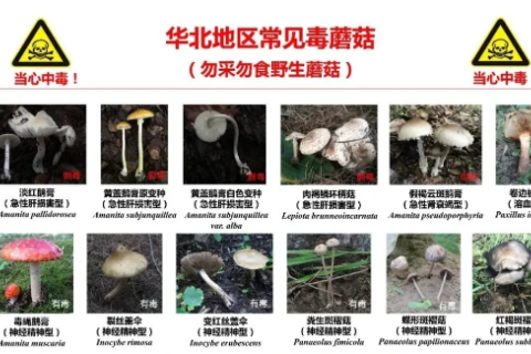 警惕|慎食野生蘑菇 预防食物中毒