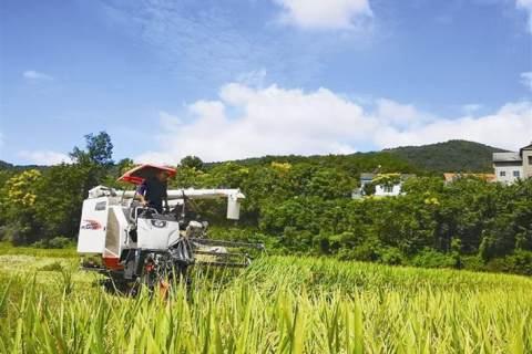 优质中稻 喜获丰收