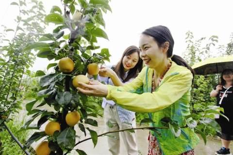百里洲萬畝砂梨開園